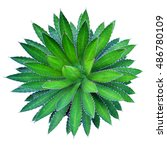 Small photo of Agave plant green flower logo colorful top view isolated on white background. This has clipping path.