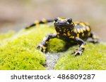 Corsican Fire Salamander ...