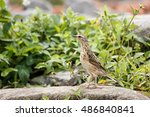 Small photo of Oriental Skylark or Alauda gulgula in Rajamalai hills in Eravikulam National Park near Munnar, Kerala, India