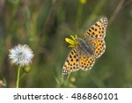 Queen Of Spain Fritillary ...