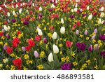 Colorful Tulips In The...