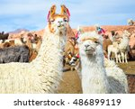 Two Funny White Lamas Close Up...