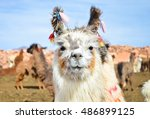 Funny White Lama Smiling Close...