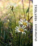 Small photo of Close up of forest flowers in the wood. Three white flowers against a grass. Landscape. In the wood. Vertical format. Small depth of sharpness. Accent of attention to a forward flower. Color. Photo.