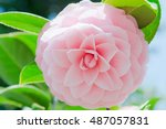 Stock photo beautiful pink rose in the garden tokyo japan 487057831