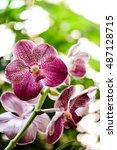 Small photo of Beautiful pink purple Orchid, Vanda hybrids