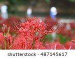 cluster amaryllis | Shutterstock . vector #487145617