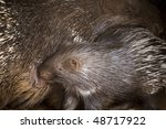 porcupine baby and his mother | Shutterstock . vector #48717922