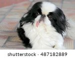 Pekingese Dog Stuck Out Her...