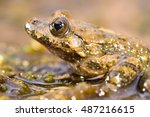 Small photo of Mediterranean painted frog, close-up (Discoglossus pictus), Alytidae. Corsica. France.