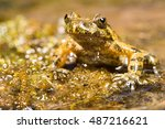 Small photo of Mediterranean painted frog portrait (Discoglossus pictus), Alytidae. Corsica. France.