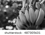 black and white picture banana... | Shutterstock . vector #487305631