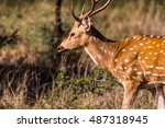 Female Spotted Deer Grazing At...