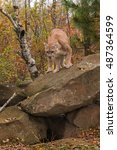 Small photo of Adult Male Cougar (Puma concolor) Looks Down From Atop Rock - captive animal
