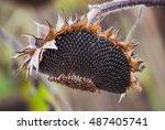 The Mature  Full  Dry Sunflower ...