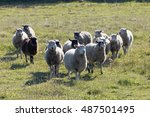 White Sheep Running On A Meado...