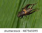 field cricket insect | Shutterstock . vector #487565395