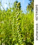 Small photo of Close-up of ragweed, ambrosia plant (artemisiifolia)