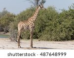 angolan giraffes  also known as ... | Shutterstock . vector #487648999