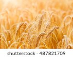 golden wheat ears or rye close... | Shutterstock . vector #487821709