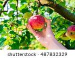 Woman Hand Picking Red Apple...