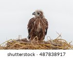 Young Eagle In The Nest...