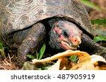 Portrait Of A Tortoise Eating ...