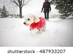 Stock photo dog in snow small white bichon frise in winter wearing red sweater outside walking in park 487933207