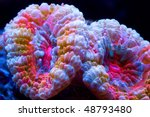 Small photo of This is an Acanthastrea coral with multi colors set on a black background.
