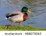 Male Mallard Duck Standing In...