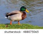 Male Mallard Duck Standing In...
