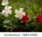 red and white mandevilla in a... | Shutterstock . vector #488119081