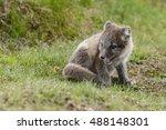Young Playful Arctic Fox Cub