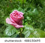 Stock photo beautiful pink rose in the garden 488150695