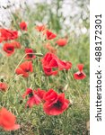 Red Poppy Flowers And Blossoms...