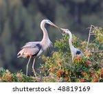 Great Blue Herons  Ardea...