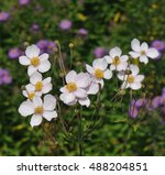 pale pink fall anemone variety... | Shutterstock . vector #488204851