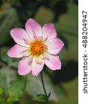 pink collarette dahlia variety... | Shutterstock . vector #488204947