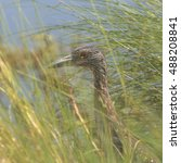 Small photo of Yellow-crowned Night Heron (juvenile)