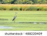 Great Blue Heron  Taken In...