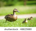 Mother Duck With Newborn Babies