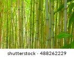 Bamboo Thicket. Green Bamboo...