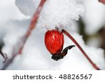 One Eglantine At Snow And Ice...