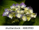 close up of purple hydrangea on ... | Shutterstock . vector #4883983