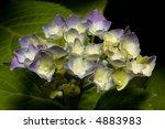 close up of purple hydrangea on ... | Shutterstock . vector #4883983