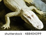 Small photo of Horizontal, close up shot of an albino American Alligator. This was shot in a swamp in Florida where alligators are common.