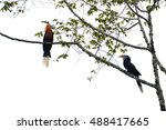 Small photo of Beautiful Bird, Rufous-necked Hornbill ( Aceros nipalensis) perching on a branch on white background, taken in Thailand.