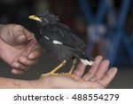 Small photo of Young Acridotheres perching on the hand