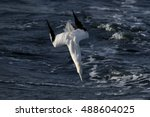 A Northern Gannet Folds Its...