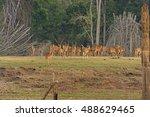 Spotted Deer Herd On The Kabin...